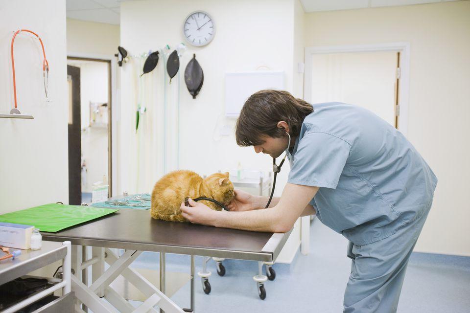 Orange cat during a vet exam