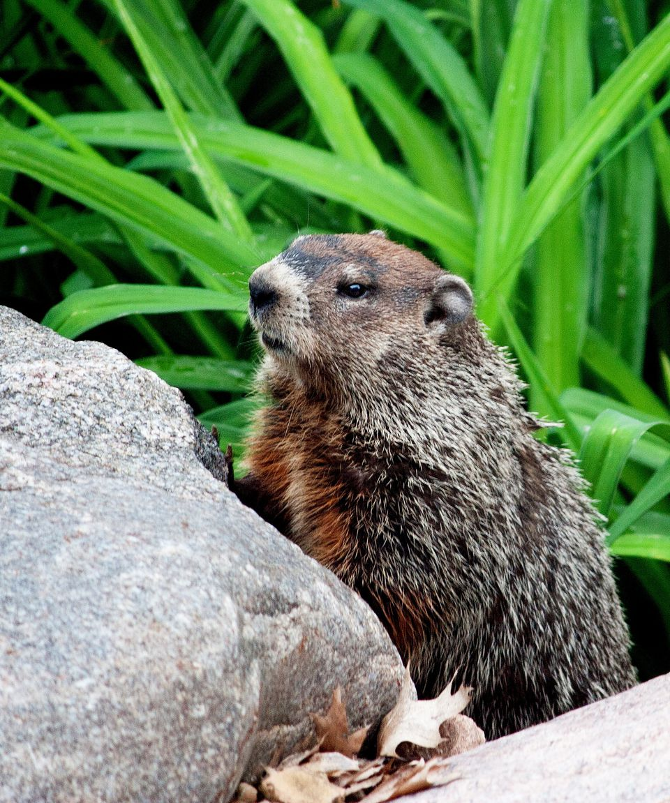 Groundhog behind a rock in a yard.