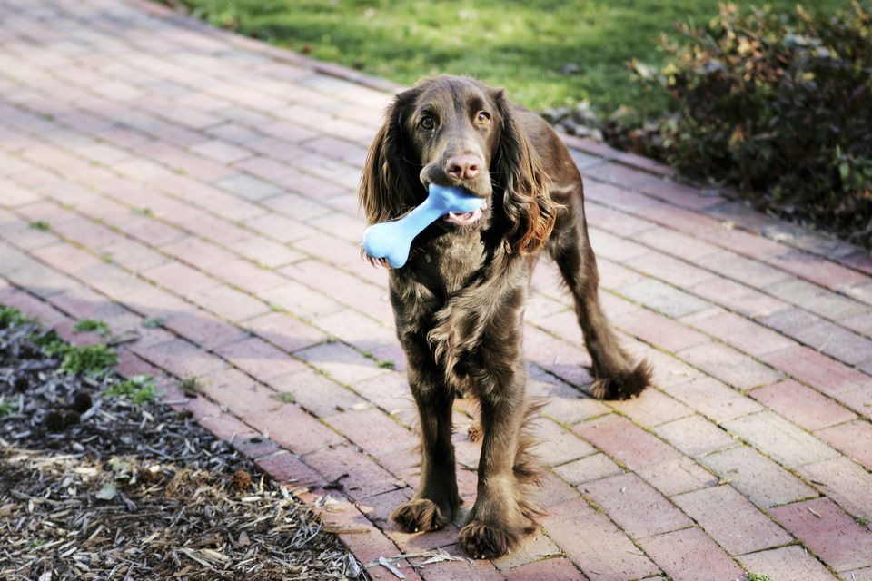 A brown dog standing on a garden path with a rubber bone in its mouth
