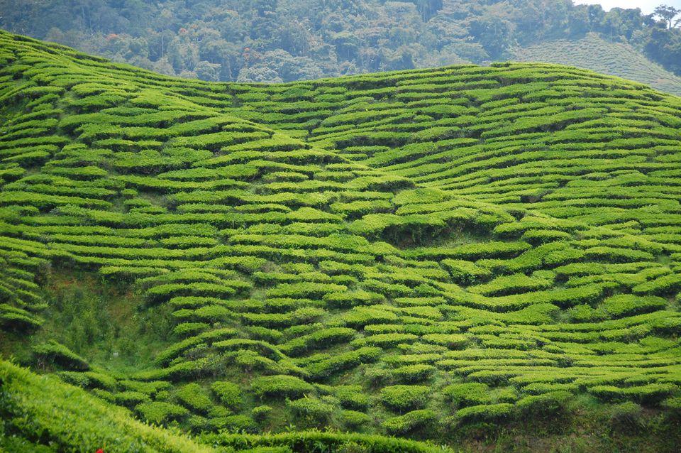 Asian Tea in the Cameron Highlands, Malaysia