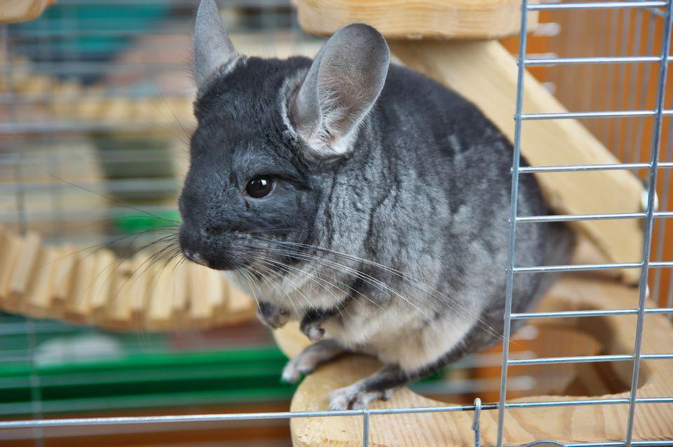 chinchilla in cage