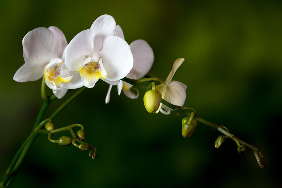 White Phalaenopsis orchid stem with flowers, emerging flowers and buds
