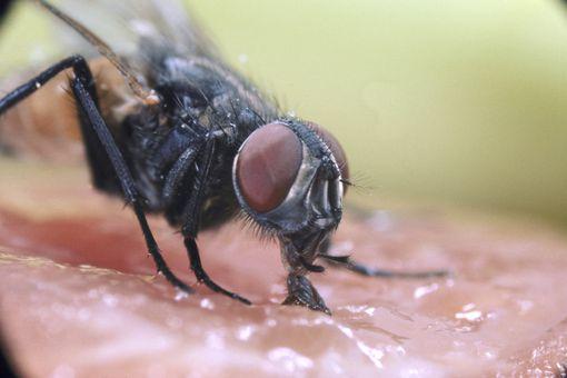 House fly feeding.