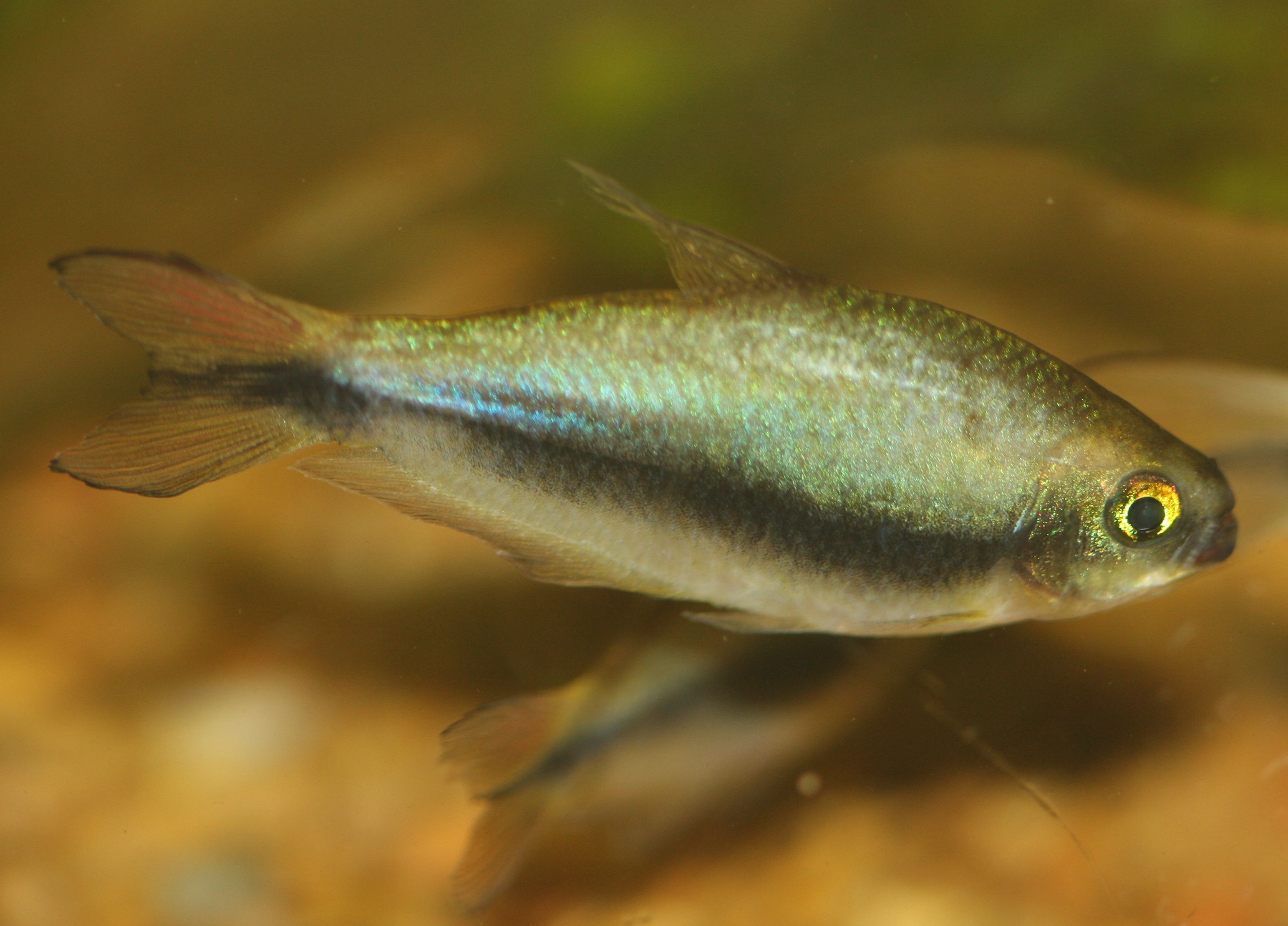 Emperor tetra fish breed profile for Large peaceful community fish