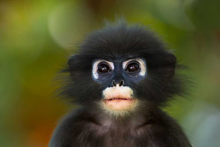This young dusky leaf monkey (Trachypithecus obscurus) is among the 5,400 species of mammals alive today, and one of several millions of animal species.