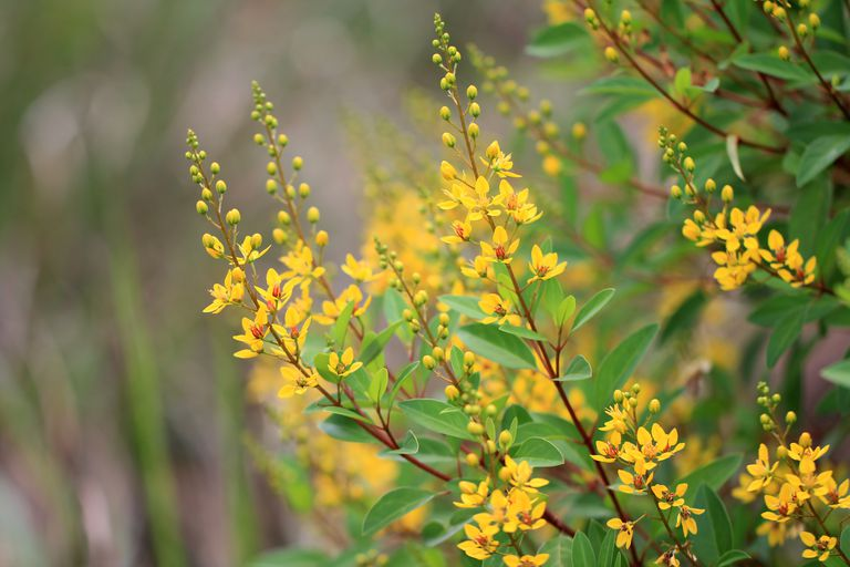 Yellow flowers of Thryallis shrub
