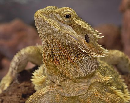 Bearded Dragon Brumation Care