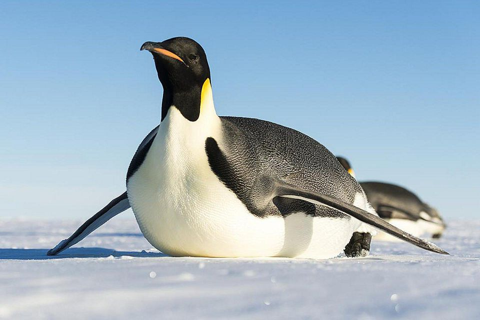 Erect Crested Penguin Facts For Kids