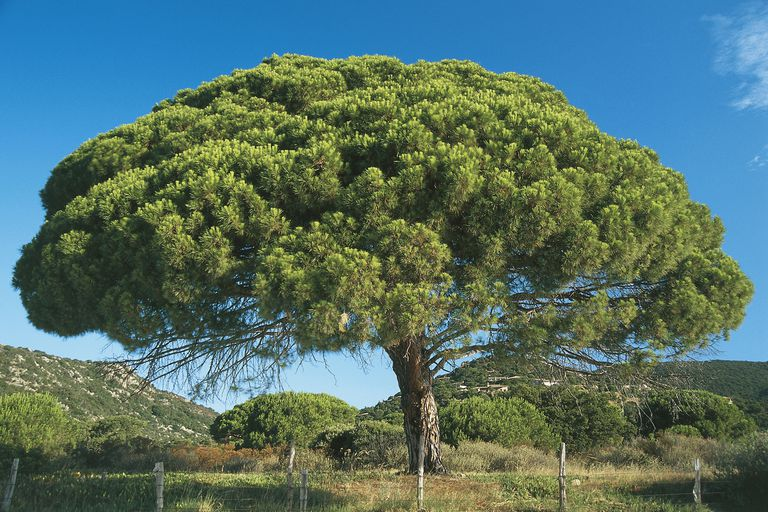 A maritime pine tree on the island of Corsica.