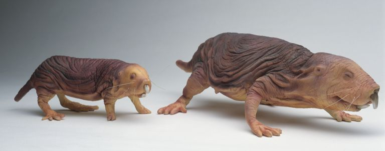 The naked mole rat queen is larger than the other rats within a colony.