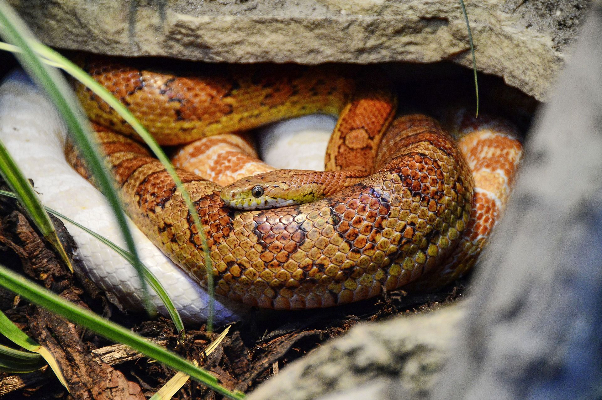how to tell if a snake is shedding shedding snakes