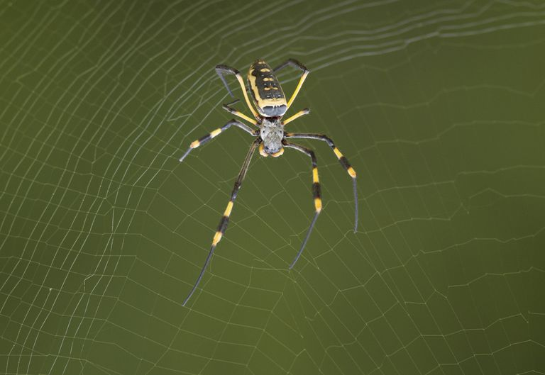 YellowOrbSpider_1500.jpg