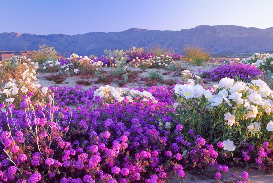 Wildflowers at Anza-Borrego Desert
