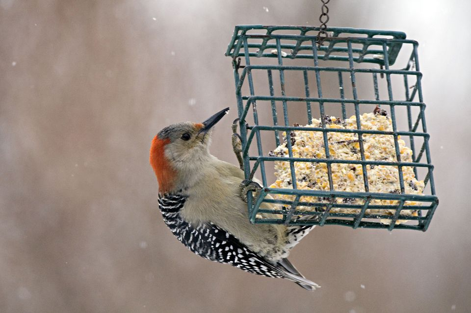 Female Red-bellied Woodpecker, Melanerpes carolinus, feeding on suet, Michigan, USA. Females have a red nape only (no red crown). Common in open woodlands, suburbs, parks.