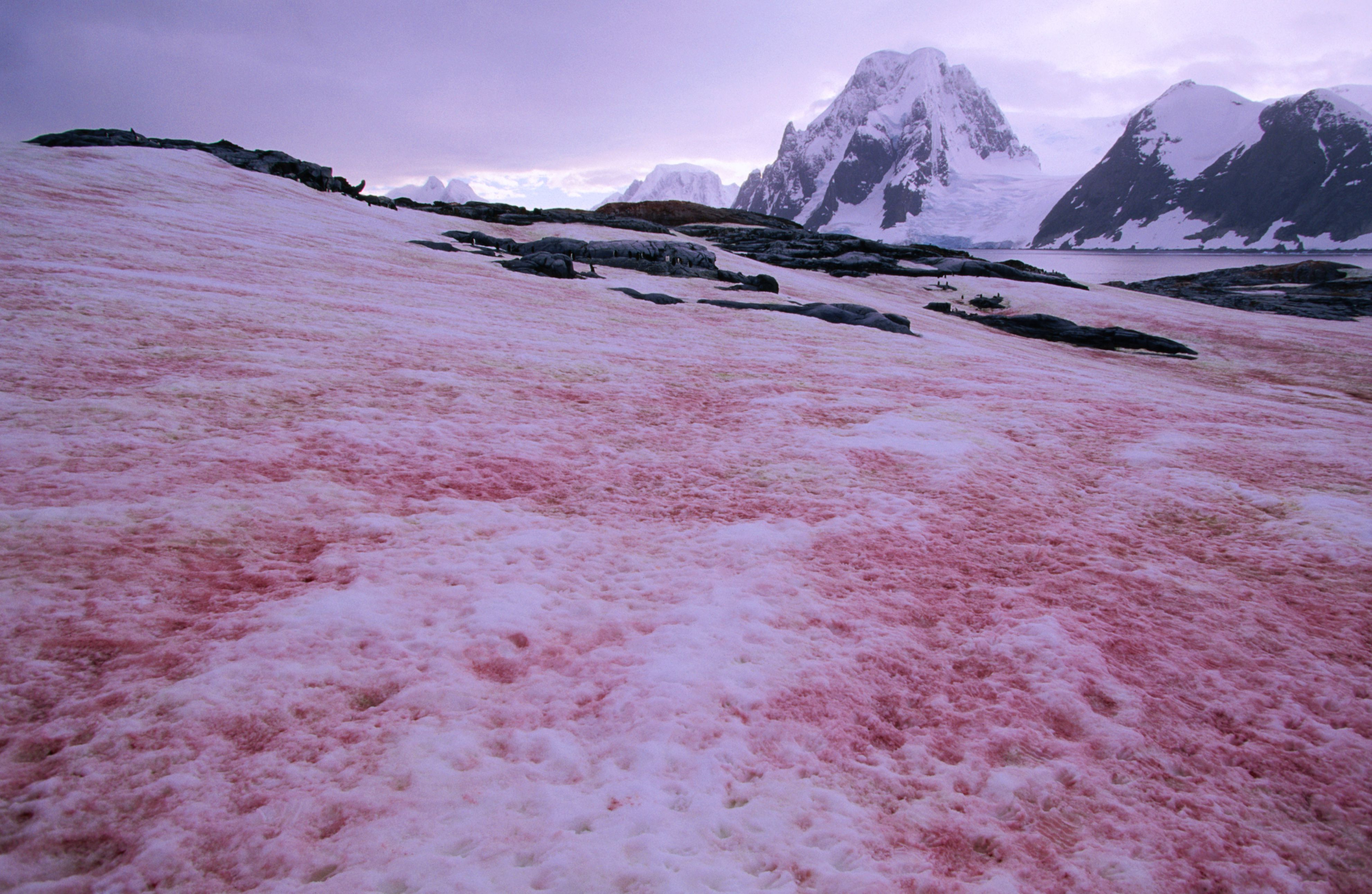 Definition of Red Snow by Merriam-Webster