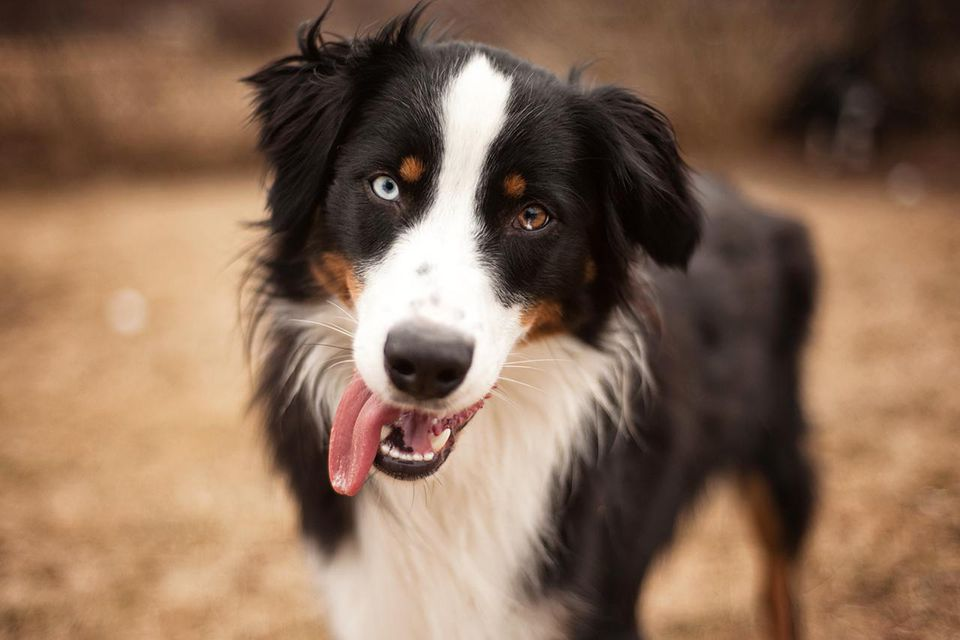 black tri aussie with one blue eye and one brown eye. Shallow depth of field