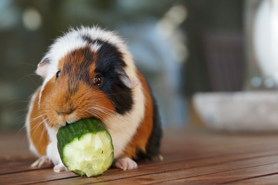 The 9 Best Basic Guinea Pig Supplies To Buy In 2018
