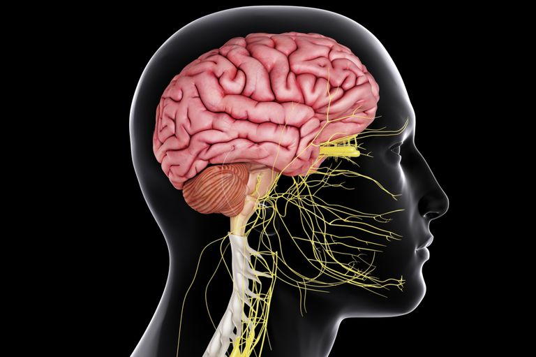 Central nervous system brain and spinal cord brain and spinal cord ccuart Choice Image