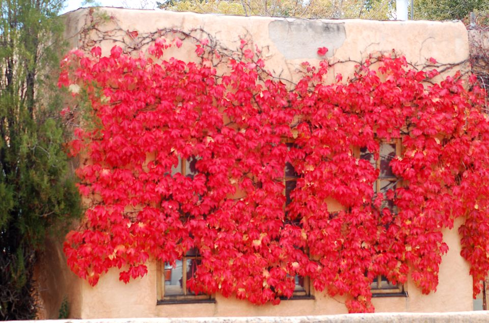 Boston ivy picture. A vine, Boston ivy is commonly found scaling walls.