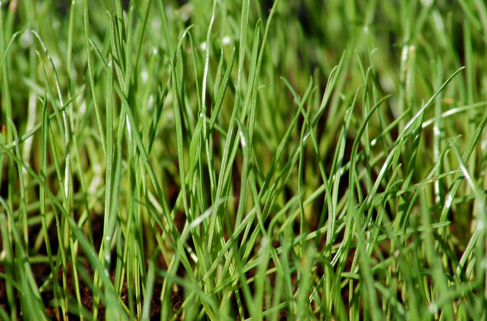 Annual ryegrass (image) seed is fast to germinate. It has many uses.