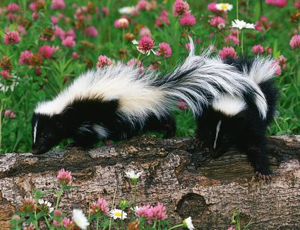 how to get skunk smell off of you