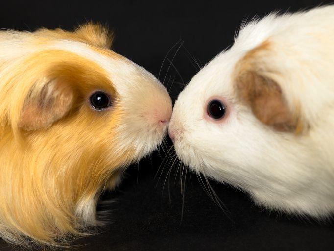 Guinea Pigs Nose to Nose