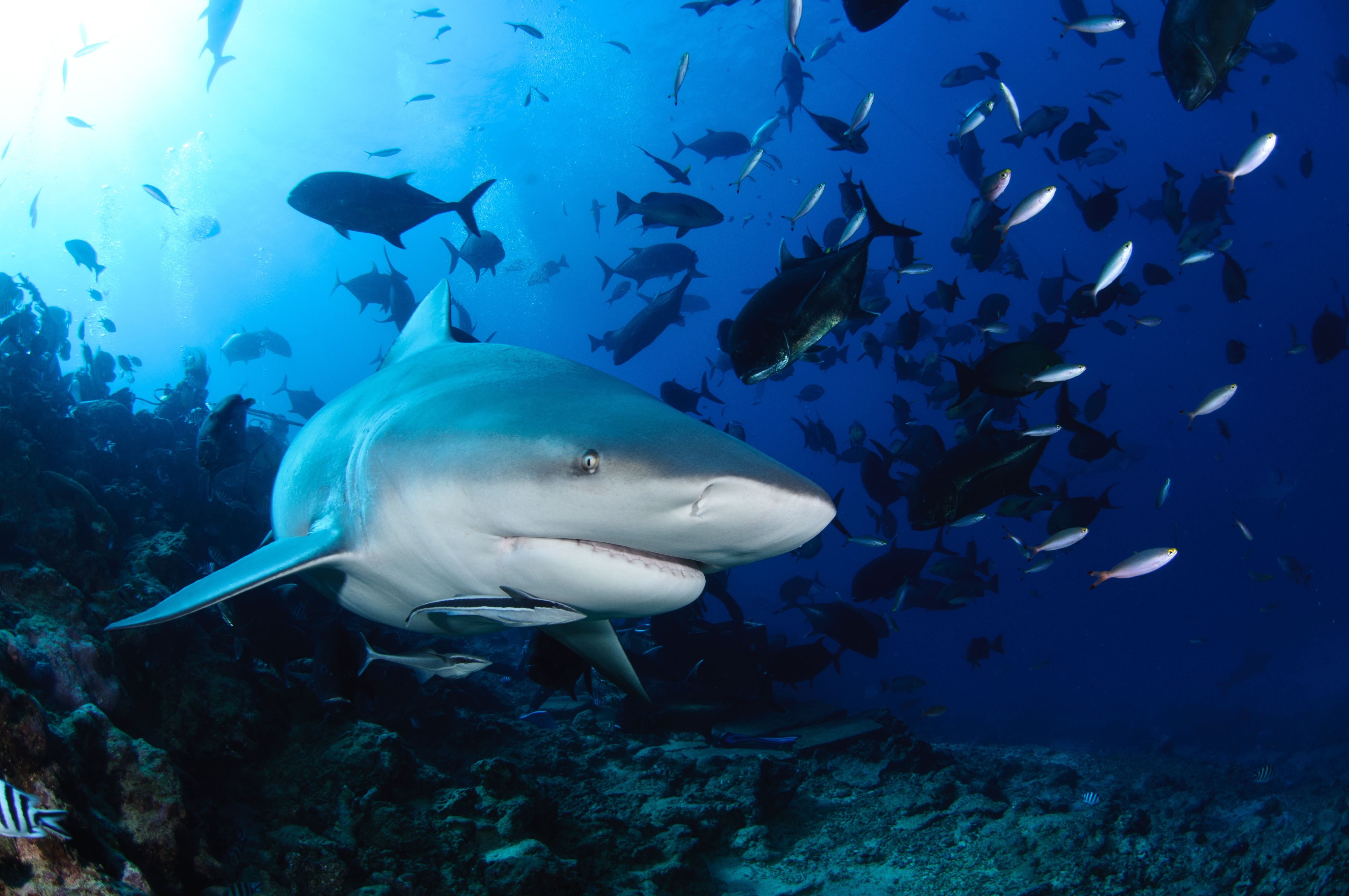 top sharks that attack humans
