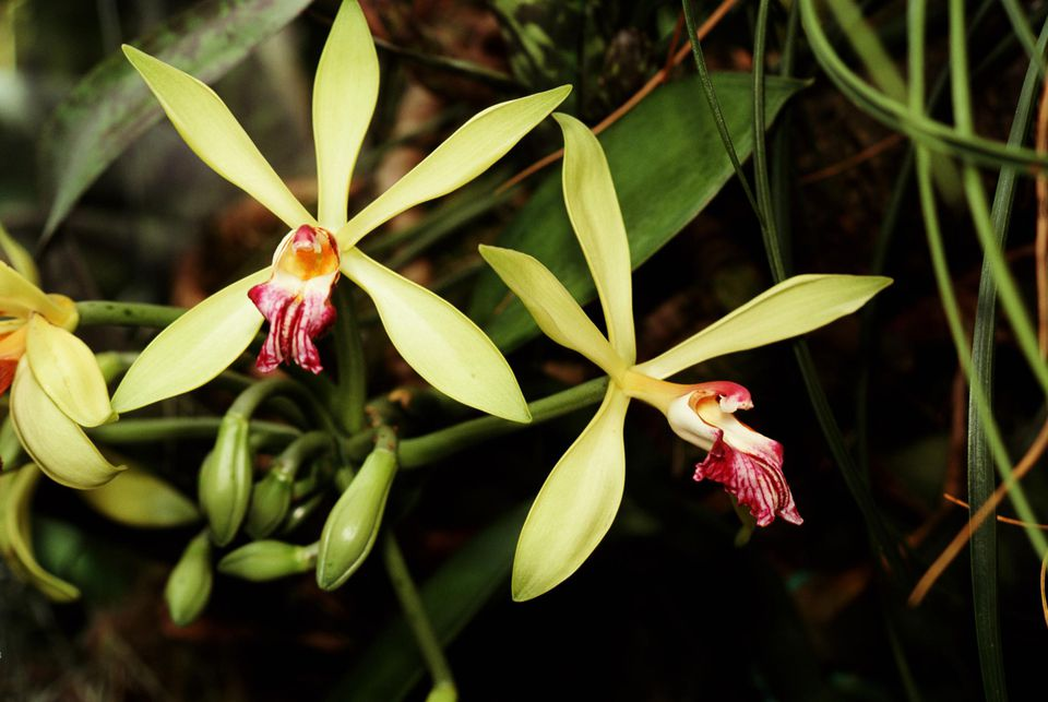 Vanilla orchids (Vanilla planifolia) close-up