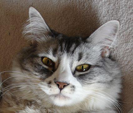 Cat Ear Clean But Sensitivity To Rubbing