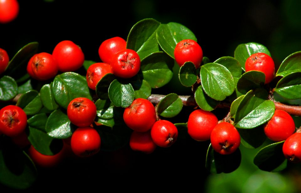 Cotoneaster bushes (image) have bright red berries. The tiny leaves give a fine texture.