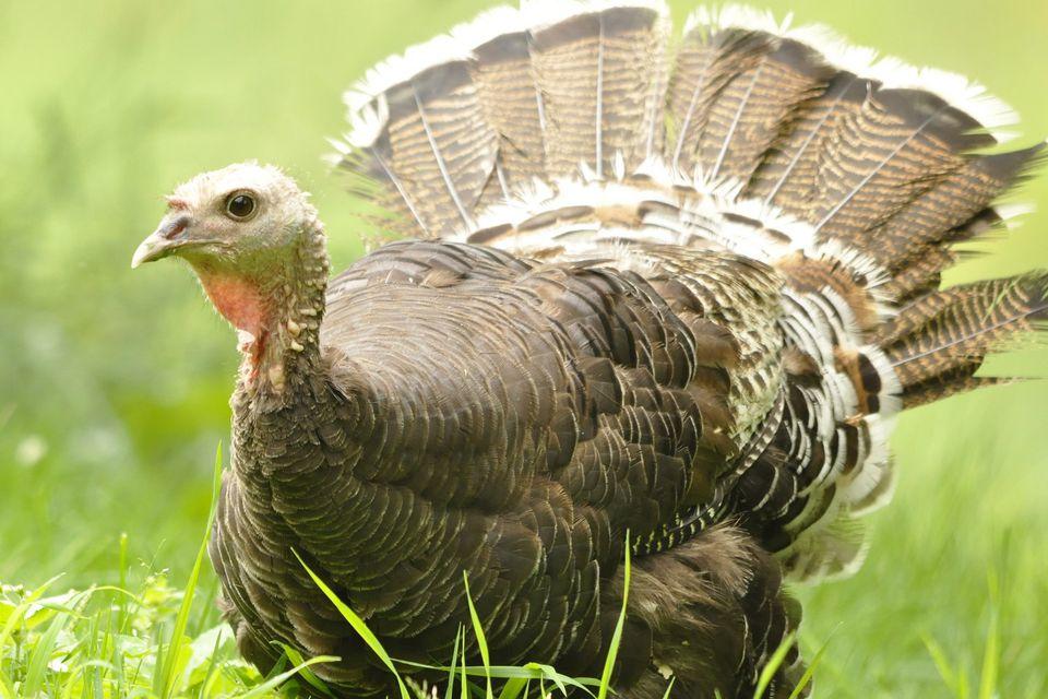 Best Food For Wild Turkeys