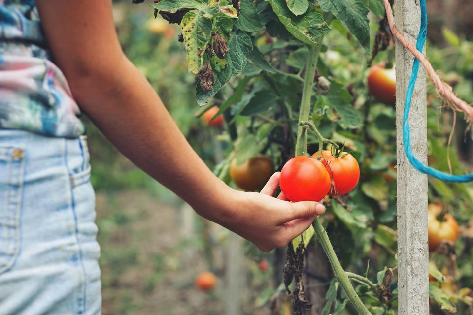 Girl admiring and touching beautiful tomatoes of the orchard