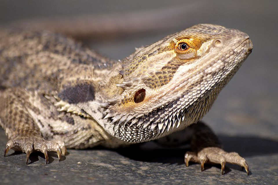 Close up detail of Bearded Dragon.