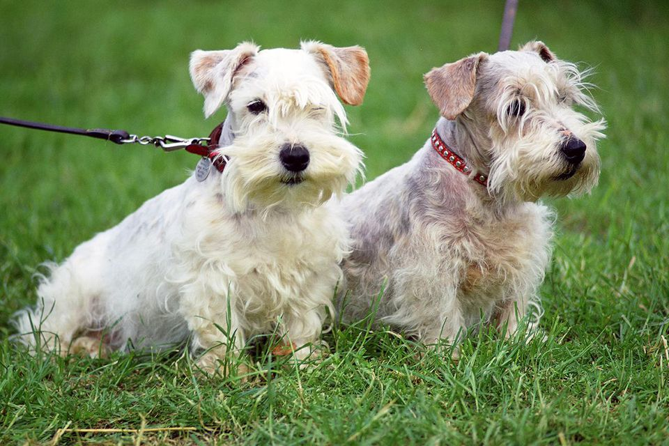 GREAT BRITAIN - MAY 01: West Highland Terriers, Windsor, England, United Kingdom