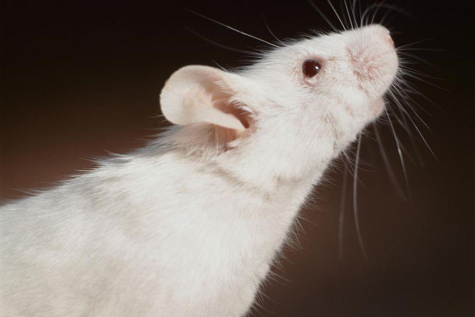 White Rat on Brown Background