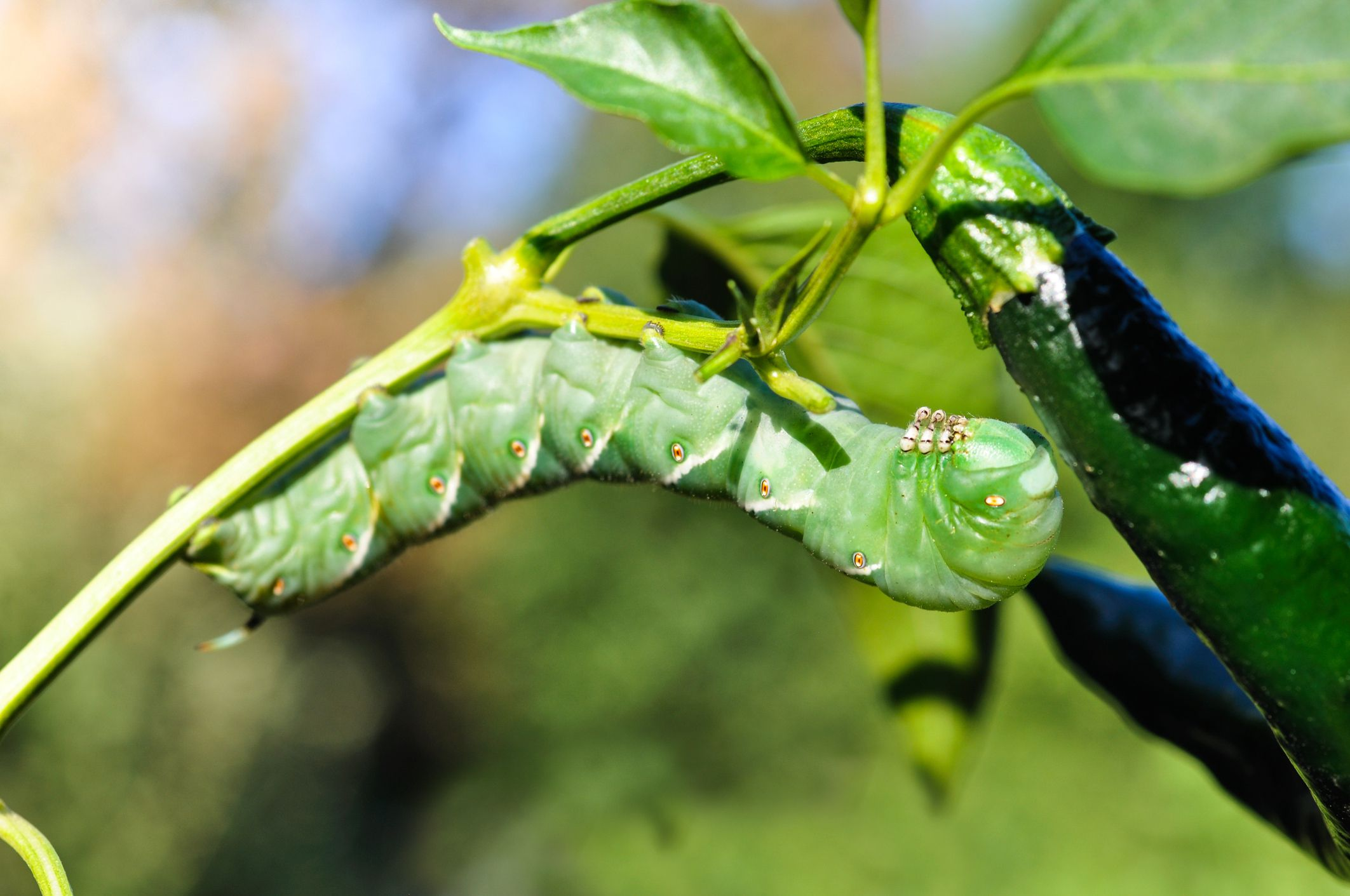 Vegetable Garden Insect Pests