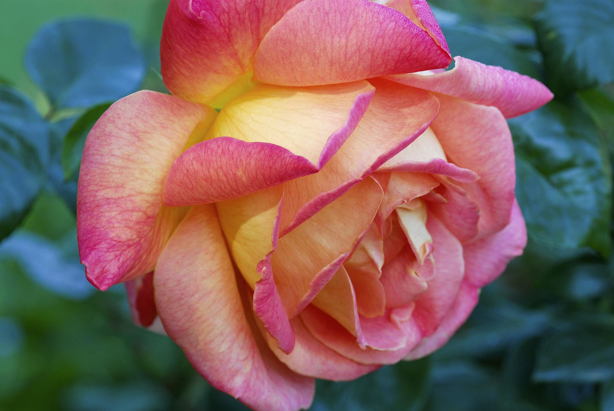 getting your roses off to a growing start in the spring