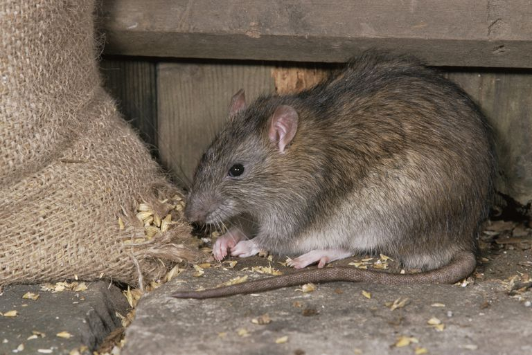 Brown rat (Rattus norvegicus) feeding on grain inside a farm building