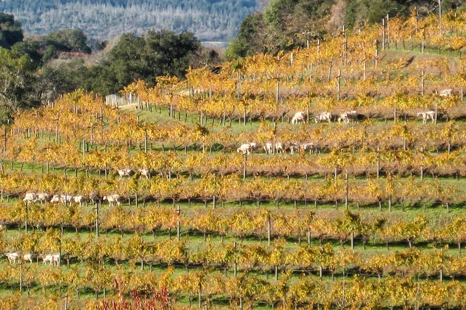 Sheep Grazing in the Vineyards at Benziger Winery