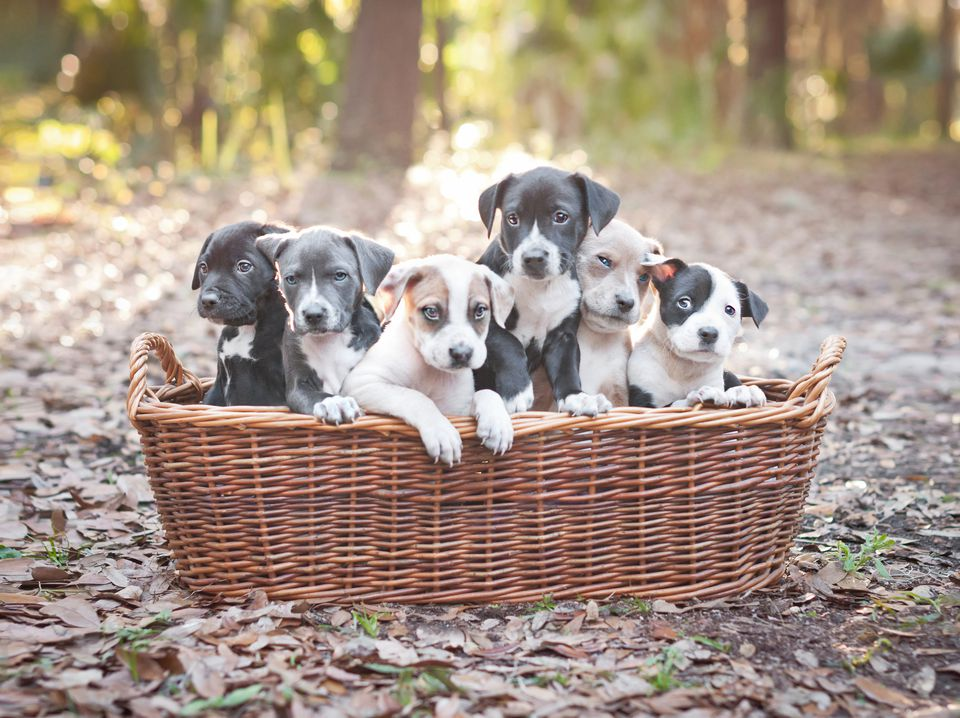 Puppies in wooden basket
