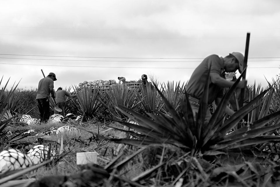 Jimadores Work the Agave Harvest for Sauza Tequila