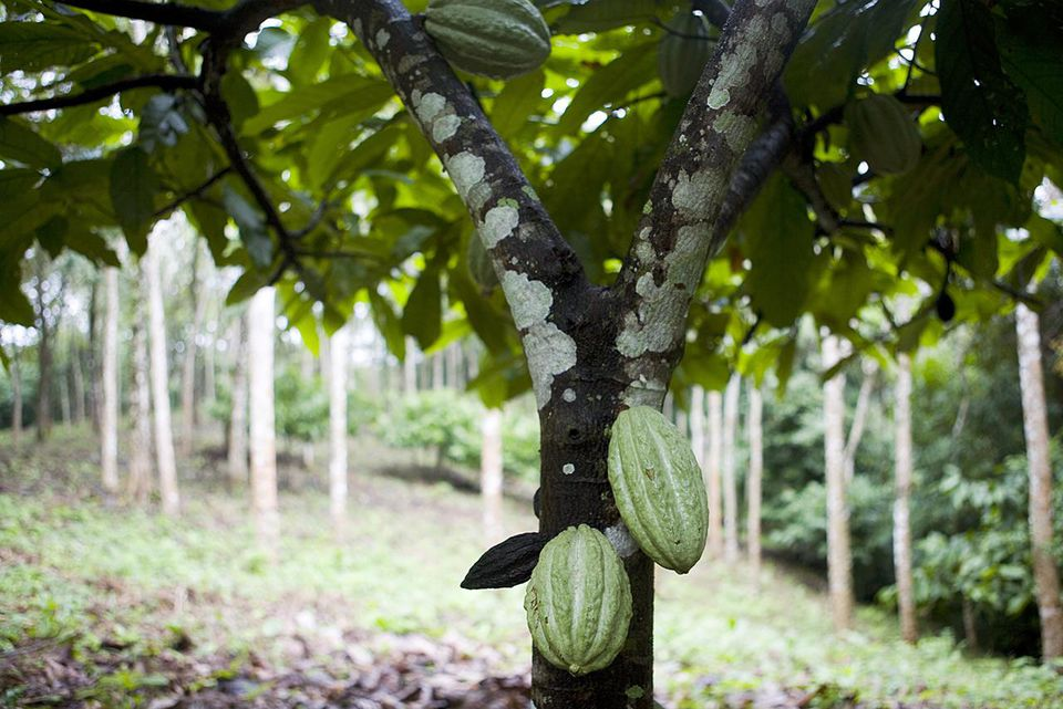 Cacao (Theobroma cacao) cultivation.