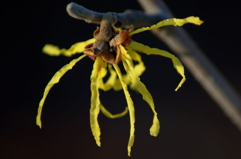 Image: witch hazel.