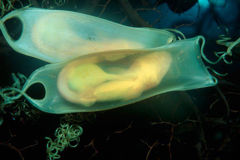 Shark egg sac