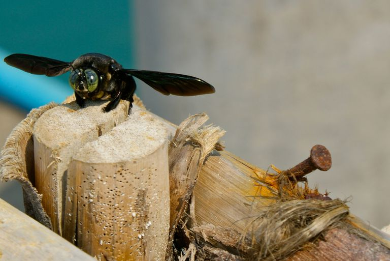 High Angle View Of Carpenter Bee On Wood