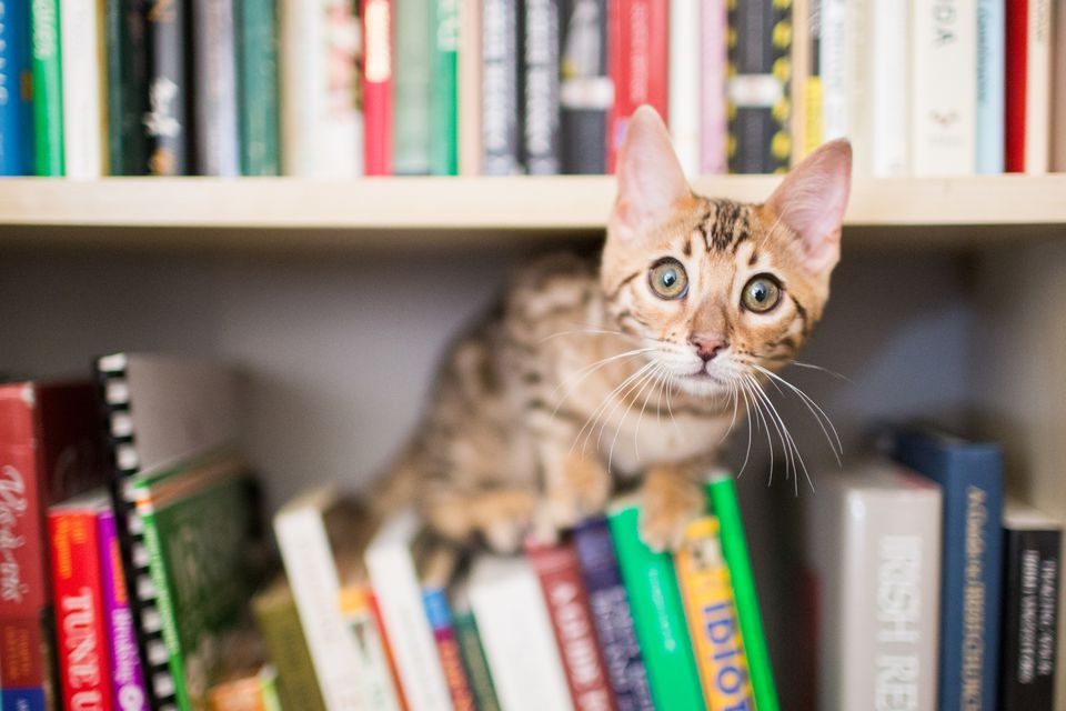 Cat on top of books on book shelf