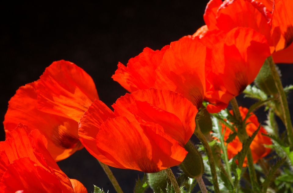 Oriental poppy flowers (image) add zest to landscaping. The ones here are orange.