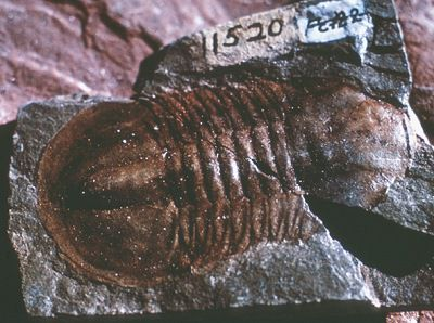 The trilobite is the official fossil of 3 different states.