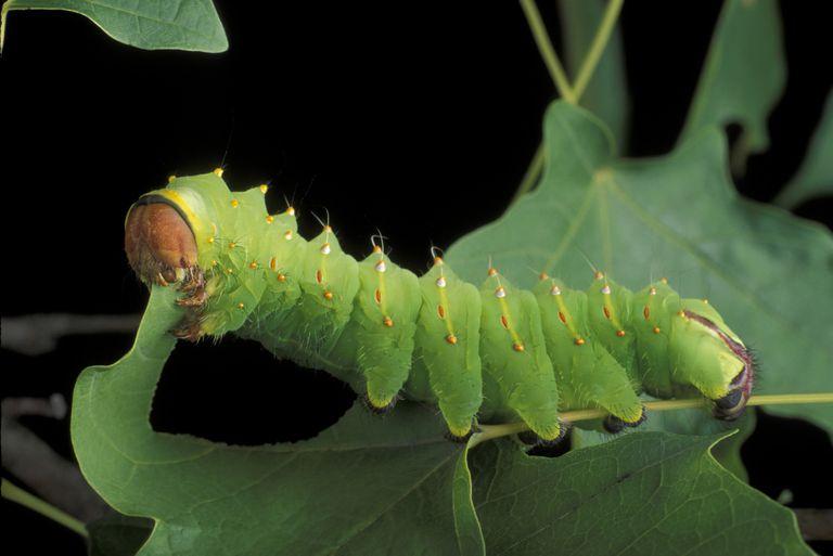 Caterpillar feeding on a leaf.