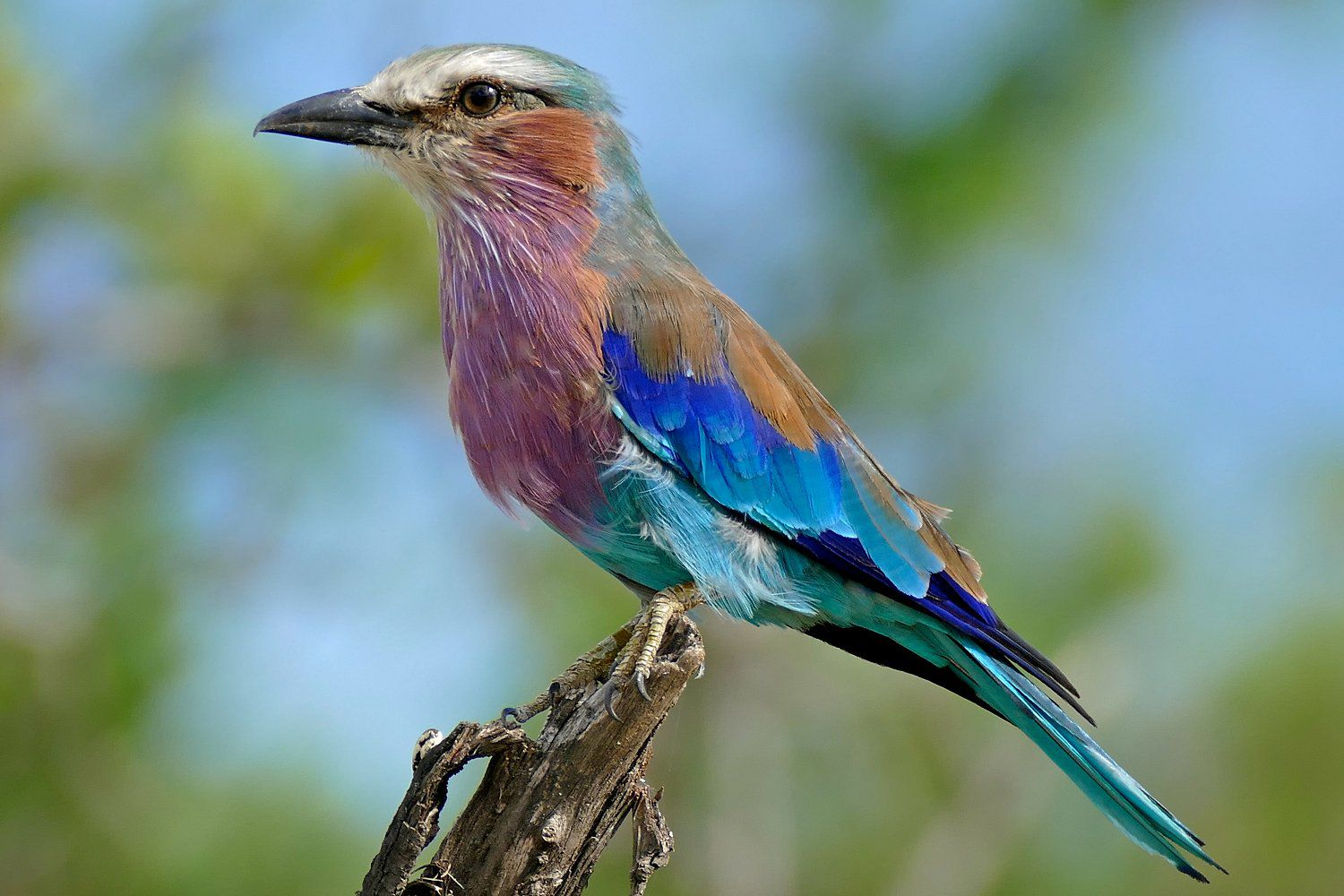 Lilac Breasted Roller Fact Sheet